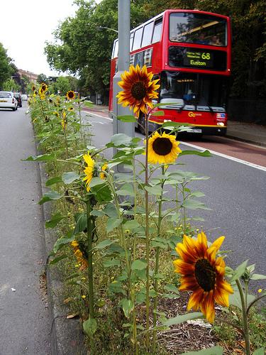 روییدن این تعداد گل آفتابگردان در میانه خیابان اتفاقی نبوده است!