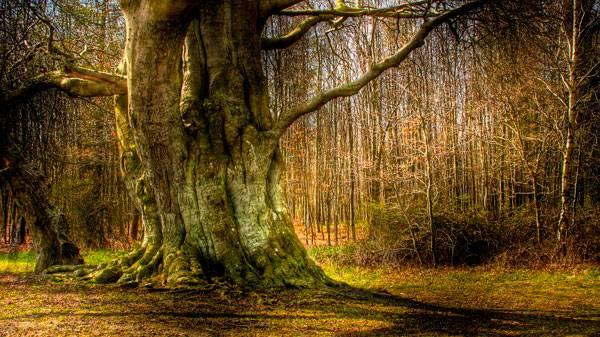 درخت کهنسال دانمارکی به عنوان قدیمی ترین موجود زنده در دنیا