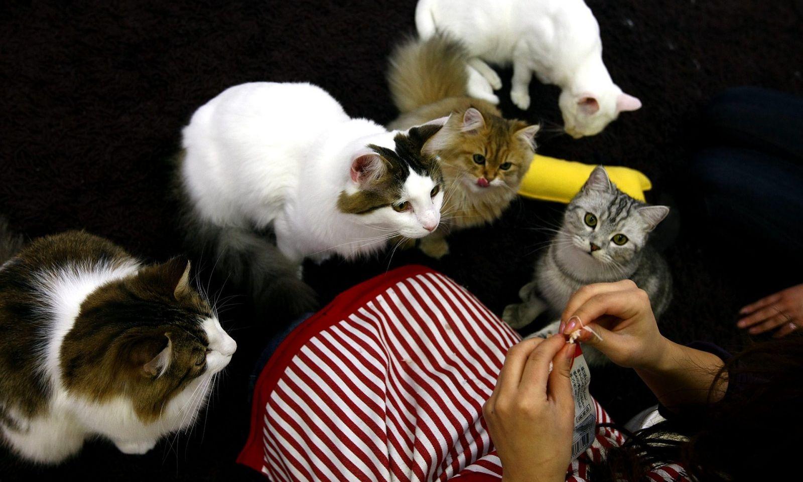کافههای گربه نزد شهرنشینان بسیار محبوب شدهاند و ایدۀ «عشق به اجارهکردن» نیز همینطور.